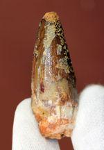 肉食恐竜歯化石のファーストコレクションにも!白亜紀、モロッコ産スピノサウルス(Spinosaurus)の歯化石。展示ケース付。