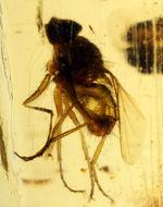 7ミリもある大きな虫をはじめとして20匹以上の虫が内包されたマダガスカル産のコーパル