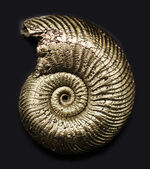 人気!全体が黄鉄鉱化されたロシア産のアンモナイト、クエンステッドセラス(Quenstedotoceras)の化石