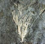 カナダ産ウミユリ化石(Cupulocrinus jewetti)