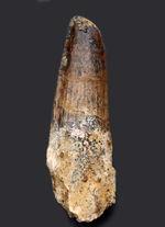 プレゼントにいかがでしょうか?エナメル質が保存されたナチュラルなスピノサウルスの(Spinosaurus)歯化石