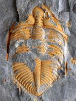 レア三葉虫コロノセファルス(Coronocephalus sp.)。落ち葉のような色と形が特徴的