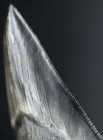 こだわりの厳選品!光沢のあるエナメル質、先端まで保存されたセレーション!人気のメガロドン(Carcharodon megalodon)の上質な歯化石