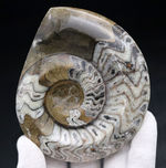 直径最大部107ミリの大きな、ゴニアタイト(Goniatite)の化石。美しい模様が保存された美品