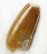 三角州を疾走していた?小型の獣脚類恐竜、デルタドロメウス(Deltadromeus sp.)の歯化石、専用ケース付き。