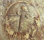 カンブリア爆発で生まれた三葉虫の一つ、かの有名なピオシェ頁岩層より採集されたオルレネス・フォーレリ(Olenellus fowleri)