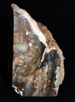 展示の仕方でセンスを試される!?古代の木の化石、ブラジル産珪化木(ケイカボク)