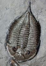 マルチプレートは希少!米国ニューヨーク州産三葉虫ダルマニテス(Dalmanites limulurus)、4体。