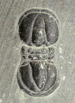 両面に合わせて3体のペロノプシス(Peronopsis sp.)が居るマルチプレート。異彩を放つ個性派、初期の三葉虫。