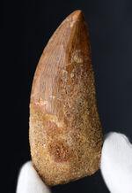 いかにも典型的、ステーキナイフのようない、ビッグサイズのカルカロドントサウルス(Carcharodontosaurus)の歯化石