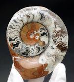 鮮やかな赤っぽい茶色にご注目!古生代デボン紀の頭足類、ゴニアタイト(Goniatite)の化石。インテリアとしてもおすすめ