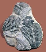 寄り添うように化石化した3体のユタ州産三葉虫、エルラシア・キンギ(Elrathia Kingi)