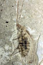 オールドコレクション!中国遼寧省産の昆虫化石