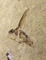 新生代第三紀(およそ260万年前から現世までの期間)のハチと思しき昆虫の化石