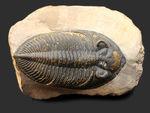 典型的で良形!デボン紀の大型の三葉虫、オドントチレ(Odontochile hausmanni)の化石。立派なサイズ、状態の良い複眼、左右に伸びるgenal spineなど、特徴がよく現れた良質化石