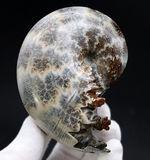 美しい縫合線を立体的に観察できる!これが密巻きの代表選手、1億2000万年前の白亜紀アンモナイト、フィロセラス(Phylloceras)の化石
