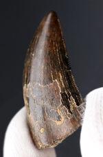 先端まで保存されたティラノサウルス・レックス幼体の歯化石(Tyrannosaurus rex)