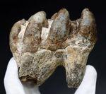 マンモスと同時代を生きたマムート(マストドン)の極めて上質な歯化石