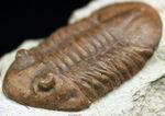 保存状態良好、左右対称の上質の個体、原始的なロシア産の三葉虫、アサフス・レピドゥルスの化石