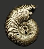 美品!ロシア産の黄鉄鉱化アンモナイト、クエンステッドセラス(Quenstedotoceras)の化石