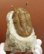 三葉虫コレクター必見!規格外の長さ26ミリの眼を持つ、83ミリの巨大標本!ロシア産三葉虫アサフス・コワレフスキー(Asaphus kowalewski)