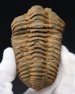 三葉虫のファーストコレクションにいかが?カーブ計測10センチ超え!大きなサイズ、オルドビス紀のモロッコ産カリメネ・ウーズレグイ三葉虫(Diacalymene ouzregui)