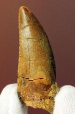 白亜紀の北アフリカの食物連鎖の頂点に君臨していたカルカロドントサウルスの歯化石