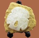 古代ウニの珍品化石、エンコープ・タミアミエンシス(Encope tamiamiensis)米国フロリダ州タミアミ層産
