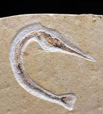 ベリーレア!滅多に入手できない!吻部が異様に長い白亜紀の魚類、リンコデルセチス(Rhynchodercetis)の完全体化石