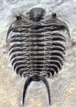 これを超えるセラウルスがいくつあるというのか。北米三葉虫の雄、セラウルス(Ceraurus pleurexanthemus)のパーフェクト標本。