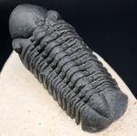 モロッコ産のデボン紀の三葉虫、クロタロセファルス・ギブス(Crotalocephalus gibbus)
