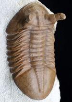 これを超えるプンクがいるのだろうか!?巨大!カーブ計測10センチオーバー!アサフス・プンクテータス(Asaphus punctatus)の秀逸標本。