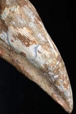 キングサイズ!!カーブ計測15センチ超え!弊社取り扱い標本のなかでも過去最大級!あのスピノサウルス(Spinosaurus)のフットクロウの化石。根本からミドルセクションにかけての厚みが凄い