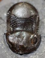 米国ニューヨーク州の個性派三葉虫、ブマスタス・イオクス(Bumastus ioxus)