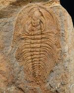 米国産三葉虫のコレクター必見!「最初」に記載されたオレネルス!米国ペンシルバニア州産カンブリア紀三葉虫、オレネルス・トンプソニ(Olenellus thompsoni)の完全体