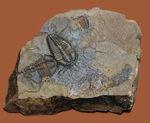 希少な目のない三葉虫、三葉虫コノコリフェ(Conocoriphe)。チェコ・ボヘミア産。