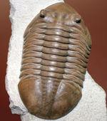 三葉虫コレクター必見!これ以上望めない完璧なアサフス・レピドゥルス(Asaphus lepidurus)。特大、それでいて対称性、保存状態ともに抜群!