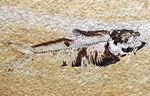 米国ワイオミング州を代表する絶滅古代魚、ナイティア(Knightia)の化石
