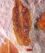 """大きい!確かに""""舌""""のように見える!大陸移動説の証拠とされるグロッソプテリス(Glossopteris)の群集化石"""
