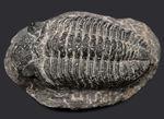 キングオブファコプス!本体カーブ計測で158ミリというサイズを誇る、三葉虫、ドロトプス・メガロマニクス(Drotops megalomanicus)の化石