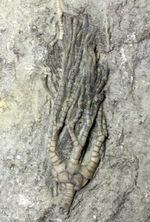 米国インディアナ州産ウミユリ、二種混在のマルチプレート標本。リーズナブルプライス。