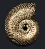 ロシア産の黄鉄鉱化アンモナイト、クエンステッドセラス(Quenstedotoceras)の化石