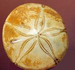 海のビスケット?タコの枕?花びらのような歩帯が美しい古代のウニの上質化石