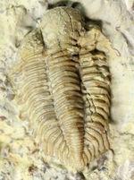 頭鞍の膨らみが印象的、米国オクラホマ州産三葉虫エンクリヌロイデス・カピトニス(Encrinuroides capitonis)