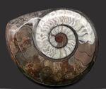 色良し、状態良し、サイズ良し、三拍子揃ったコレクショングレードのゴニアタイト(Goniatite)の化石。アンモナイトの始祖的存在