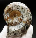 お馴染みのゴニアタイト(Goniatite)のカラフルな化石。ブラウンが映えます