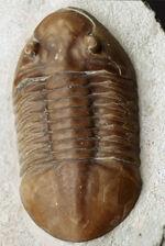 細部までクリーニングが行き届いた良質標本!ビッグ!ロシア産の三葉虫、アサフス・レピドゥルス(Asaphus lepidurus)の化石