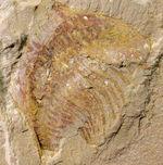 エクストリームレア!オールドコレクション!中国澄江(チェンジャン)産ナラオイア (Naraoia sp.)の化石