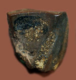 白亜紀後期に生きた、最期の角竜トリケラトプス(Triceratops)の歯化石