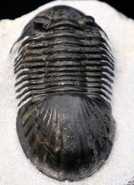 パーフェクトワン、扇のような尾板を持つ、モロッコ産の三葉虫、パラレジュルス(Paralejurus  spatuliformis)